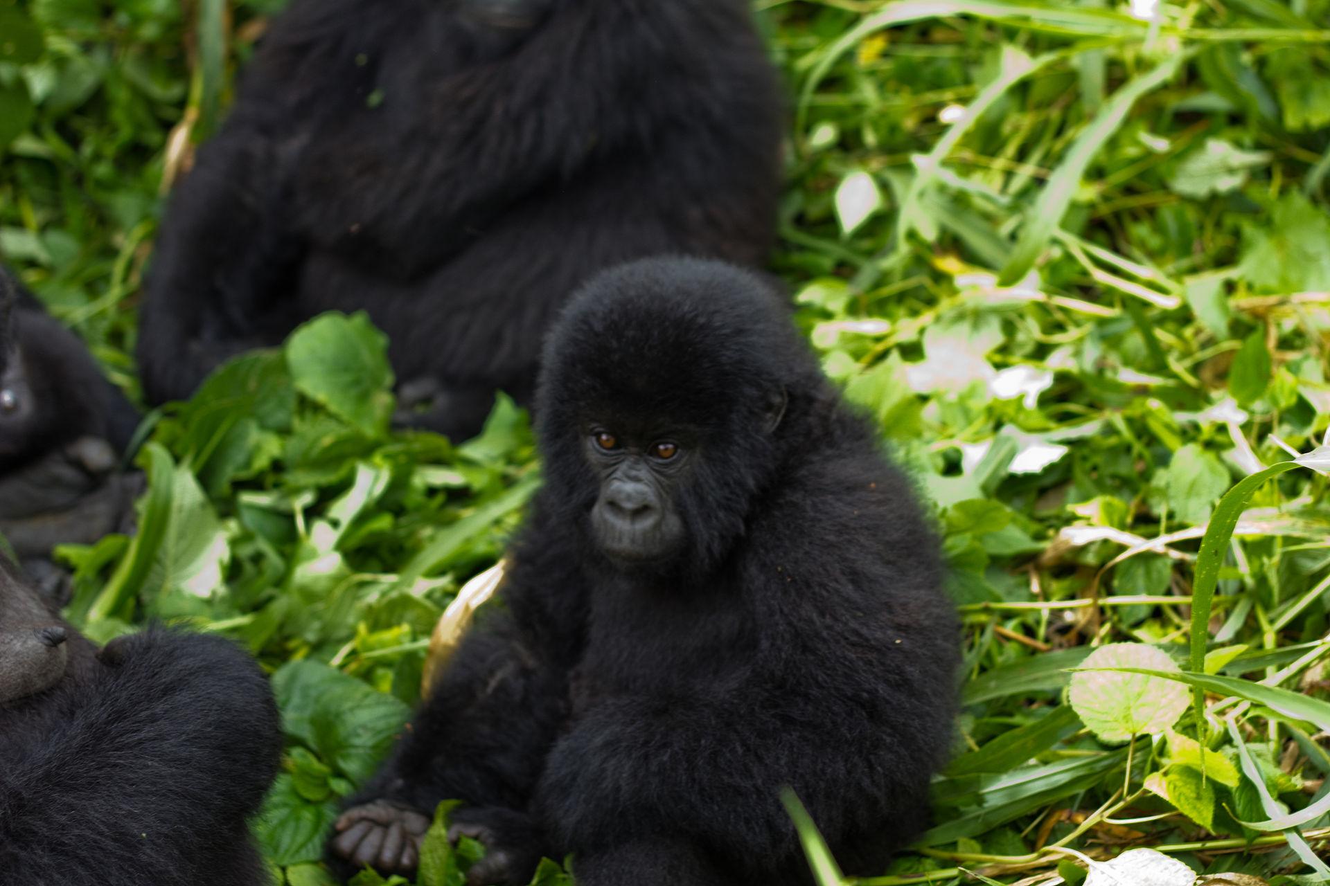 Gorilla Virunga
